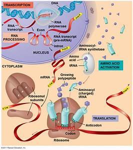 Ch  17 Gene To Protein