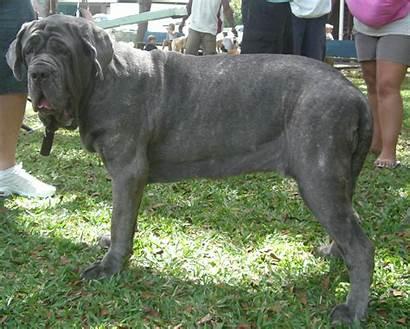 Mastiff Puppy Neopolitan Neapolitan Breed Working Dogs
