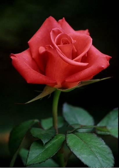Rose Paper Indian