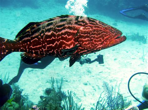 florida anglers call  goliath grouper harvest outdoorhub