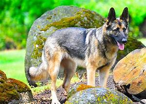 German Shepherd Watch Dogs Gallery - German Shepherd Watch ...