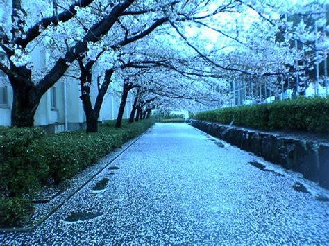 mengenal lebih dekat keindahan bunga sakura sayap sayap