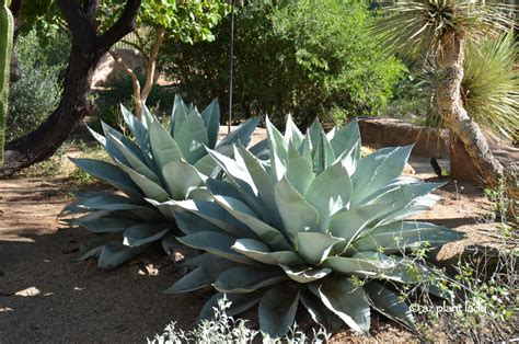 cold hardy agave 10 cold hardy succulents that add beauty to the winter landscape ramblings from a desert garden