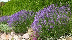 Hortensien Kombinieren Mit Anderen Pflanzen : lavendel kombinieren das sind die besten partner f r die mediterrane pflanze ~ Eleganceandgraceweddings.com Haus und Dekorationen