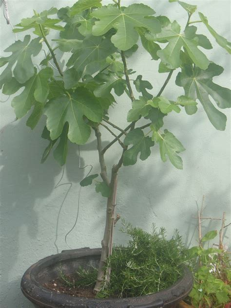 fig tree in container plants and trees to grow outside in fl