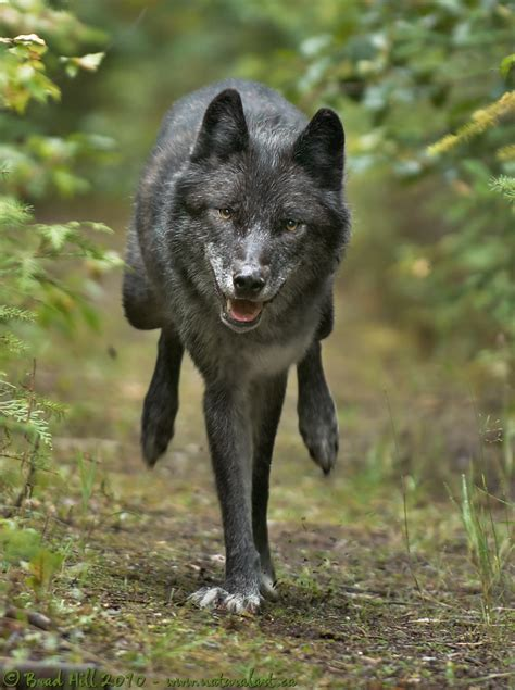 natural art images image galleries mammals wolves kin
