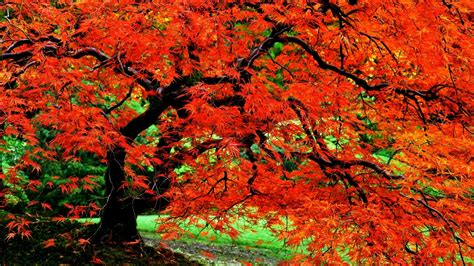 autumn tree  japanese garden hd wallpaper background