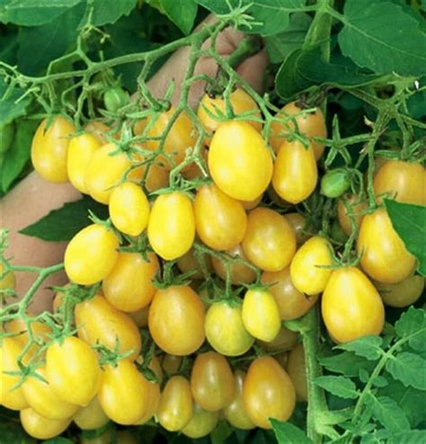 These yellow cherry tomato seeds are of the finest quality and are suitable to grow in any seasons, be it autumn or summer and winter. ILDI LEMON YELLOW CHERRY TOMATO HUNDREDS OF FRUIT 20 PROFESSIONAL seeds | eBay