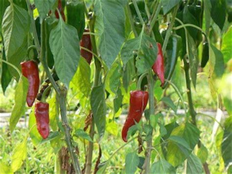 piment cuisine piment semis culture et récolte