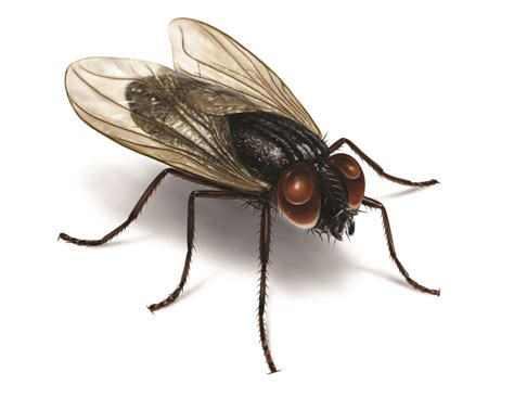 flies in my house house fly control facts get rid of house flies
