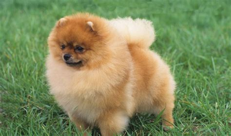 Do Yorkie Poms Shed by Pomeranian Breed Information