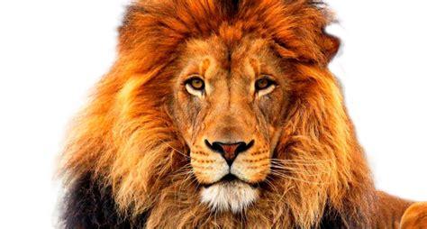 face   lion png  face   lionpng transparent
