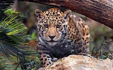 jaguar informacion  caracteristicas