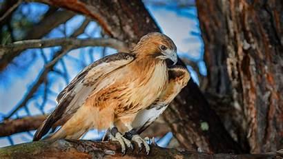 Hawk Tailed 4k Bird Prey Background Birds
