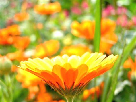 fond d écran fleur image fond ecran fleurs fonds d cran fleurs et roses fond
