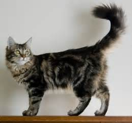 coon cats maine coon cat purrfect cat breeds