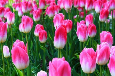 bulbi tulipani in vaso tulipani bulbi quando piantarli coltivazione e come