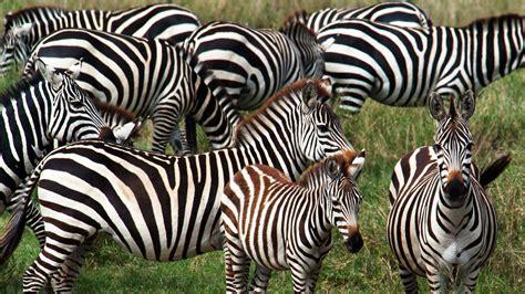 zebra mammals animals