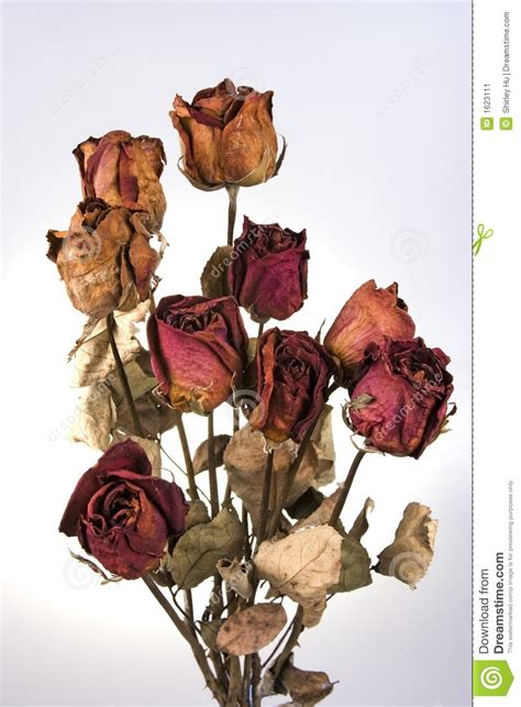 withered red rose stock image image