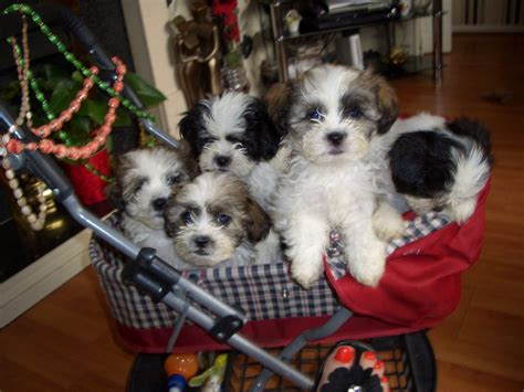 Shichon Puppies For Sale  Manchester, Greater Manchester