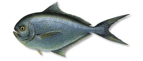 Rays Bream (Brama brama)   United Fisheries