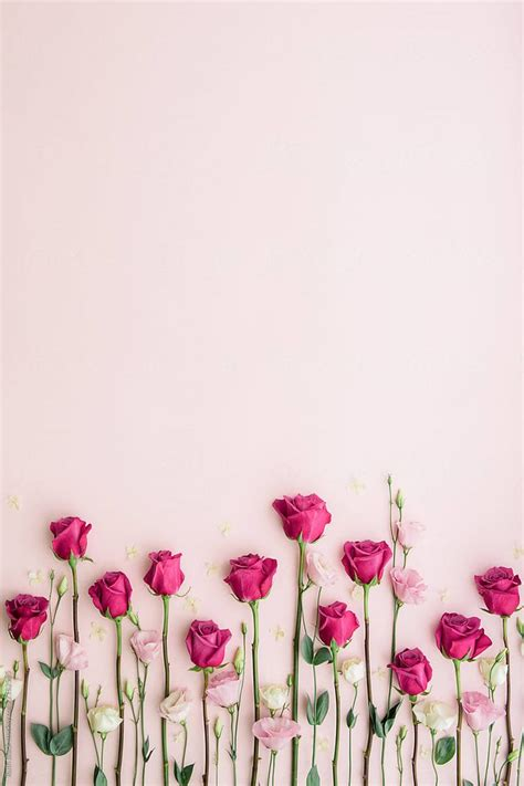 pink roses   pink background  ruth black  stocksy
