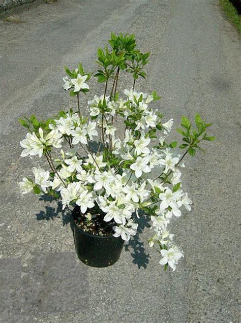 azalea japonica en pot zini piante vivai piante pepinieres baumschuler nurseries pistoia