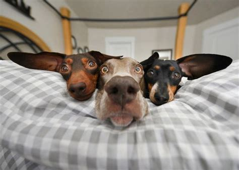 funny dogs  big ears laying   bed luvbat