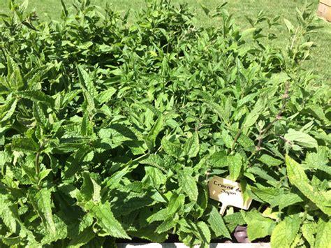 cuisiner les crosnes crosne du japon semis plantation culture récolte