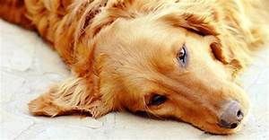 What is a Dog Ear Hematoma?