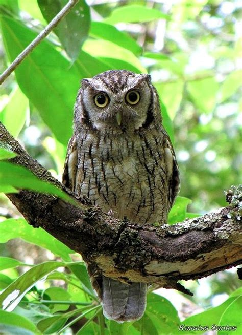 71 best owls of the world images on pinterest