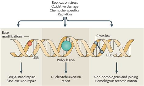 Types Of Dna Damage And Repair. Various Types Of Dna