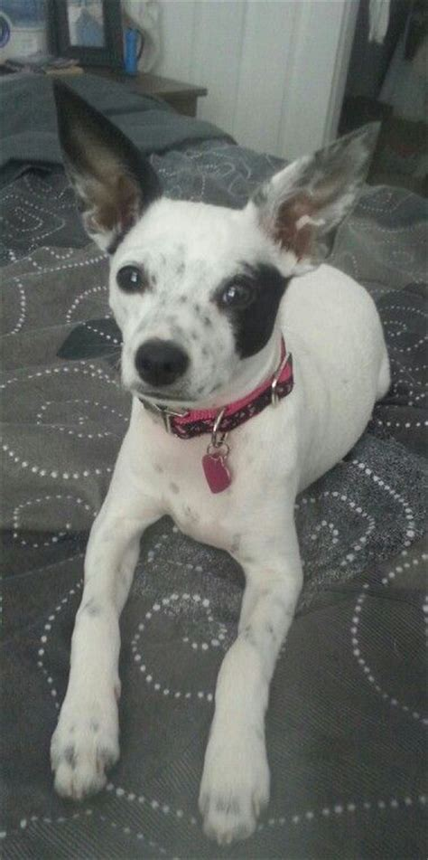 rat terrier mix shedding chihuahua and boston terrier mix pictures breeds picture