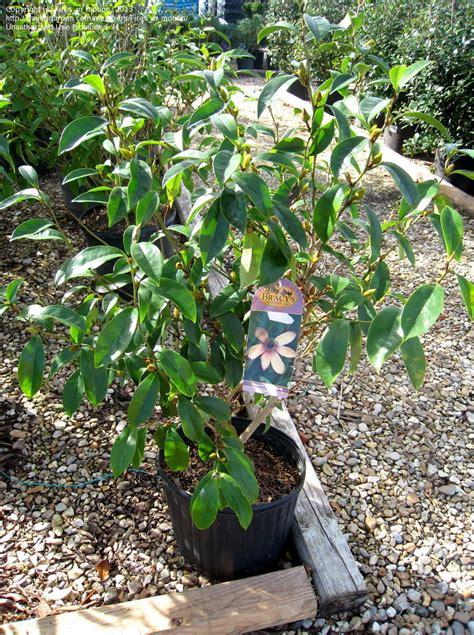 plantfiles pictures improved banana shrub magnolia figo