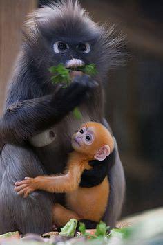 animals primates images  pinterest