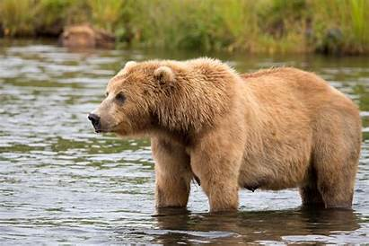 Ours Brun Oso Chasse Pardo Eau Bear