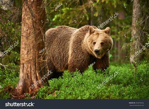 Brown Bear Walking Free Finnish Taiga Stock Photo
