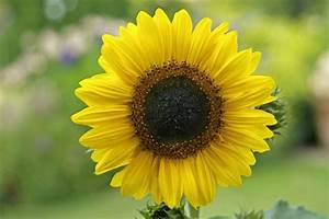 Helianthus Annuus 'Little Leo' | gardenersworld.com