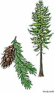 doug fir medicine goldroot botanical medicine