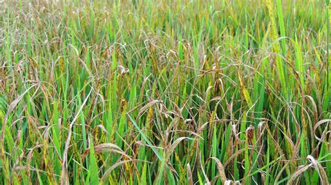 rice blast disease  farms royal health