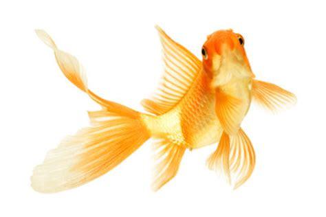 wie groß werden goldfische goldfische haltung im gartenteich