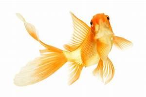 Goldfisch Haltung Im Teich : goldfische haltung im gartenteich ~ A.2002-acura-tl-radio.info Haus und Dekorationen
