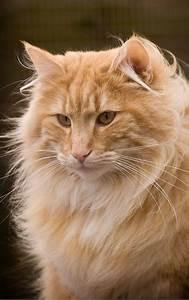 orange Norwegian forest cat | Furry Babies ~ CATS ...