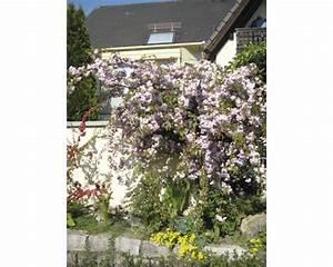 Hängende Pflanzen Winterhart Exotischer Garten H Ngebambus 3