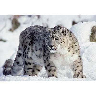 aadhilnet: My Favorite Animal - The Snow Leopard