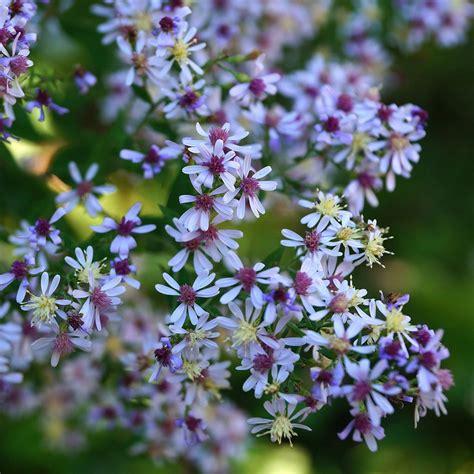 blue wood aster symphyotrichum cordifolium wild seed