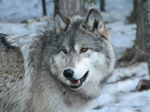Grey Wolf Face