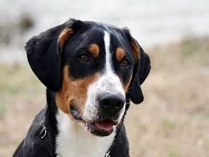 سگهای ژرمن شپرد - برترین نژادهای دنیا به ترتیب