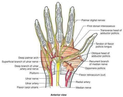 Hand Anatomy Function Bone Spine