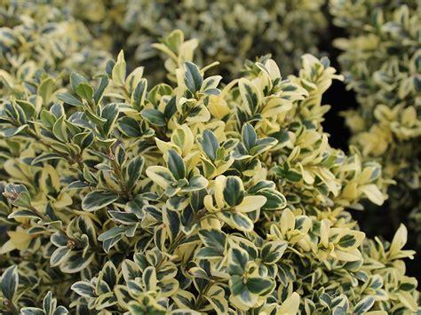 buchsbaum elegantissima buxus sempervirens elegantissima